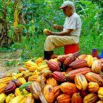 Más de 40 mil productores de cacao y café fueron capacitados en manejo de plagas