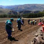 Empezó compra de 1 500 toneladas de papa a productores de Huancavelica