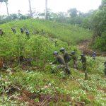 Erradican 2 198 hectáreas de hoja de coca ilegal