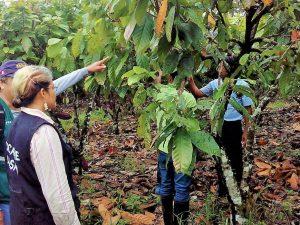 Tocache: Determinarán nivel real de incidencia del mazorquero en el cacao