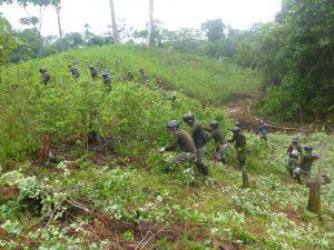 Corah erradicó cuatro mil hectáreas de hoja de coca