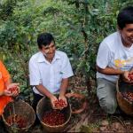 Huánuco: Minagri potencia producción cafetera