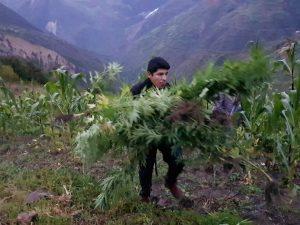 Huánuco: Policía encuentra más de 43 mil plantones de marihuana