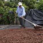 Huánuco exporta 2 mil toneladas de cacao orgánico a Europa