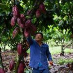 Impulsarán productividad de 20 000 familias cacaoteras en San Martín, Ucayali y Huánuco