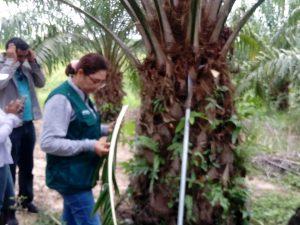 Ucayali: Realizan vigilancia y control de plagas en palma aceitera
