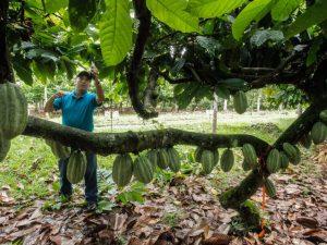 Divulgan uso de sistemas agroforestales para el cultivo del cacao en San Martín