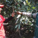 Huancavelica: Fomentan exportación de palta Hass entre pequeños productores