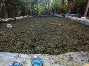 Vraem: Destruyen poza de maceración con tres toneladas de hoja de coca
