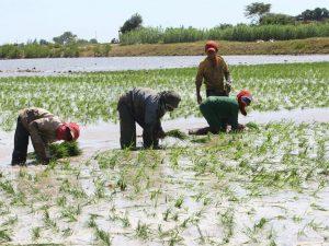 Minagri y arroceros establecieron compra de 23 mil toneladas de arroz en San Martín