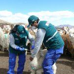 Atención sanitaria de alpacas y llamas ante bajas temperaturas en Ayacucho