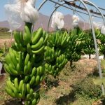 Minagri asesora a los productores de banano orgánico tumbesinos