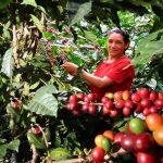 Cafetaleros de Amazonas concretan exportación por US$200 mil a Irlanda