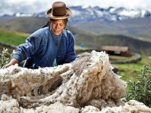 Promueven exportación directa de fibra de alpaca a Italia