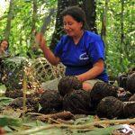 Madre de Dios: Implementan proyecto sobre castaña que beneficia a 650 familias
