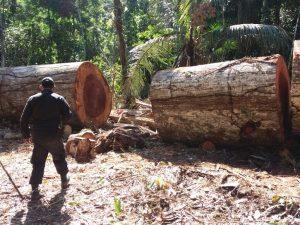 Madre de Dios: Ocho años de condena para traficante de madera