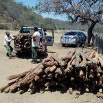 Neutralizan tala ilegal en zona de amortiguamiento del PN Cerros de Amotape