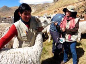Puno: Entregan kits veterinarios para proteger a cinco mil cabezas de ganado