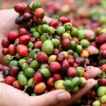 San Martín: Invierten más de S/ 1 millón en organizaciones agrarias de café y arroz
