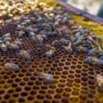 Impulsan producción de miel de abeja en bosques secos en Lambayeque