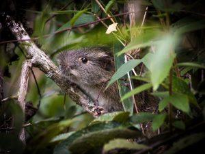 Rara especie de roedor es registrada en el Santuario Histórico de Machupicchu