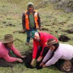 Reforestarán bosques puneños con árboles de pino