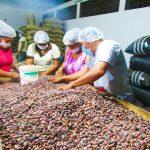 Cacao de Tocache solicitado por EE.UU., Italia y España