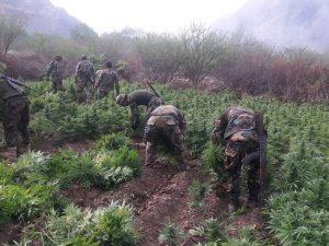 Erradican más de 27 000 plantones de marihuana en el Vraem