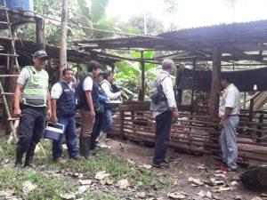 Loreto: Realizan operativo en granja clandestina de porcinos