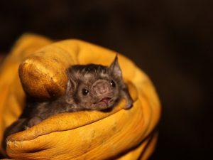 PN Tingo María es reconocido internacionalmente como área importante para la conservación de murciélagos
