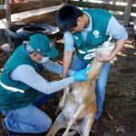 Ucayali: Realizan muestreo serológico para descarte de enfermedades en ovinos