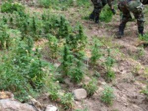 Vraem: Erradican más de 25 mil plantones de marihuana