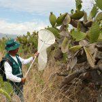 Ayacucho: Intensifican vigilancia contra plaga de langostas ante llegada de lluvias