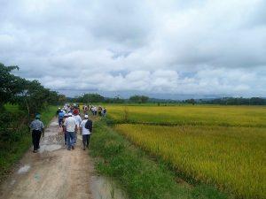 Nueva variedad de arroz se adopta en el Alto Mayo y Bagua