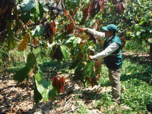 Impulsan control de plagas del cacao en Satipo