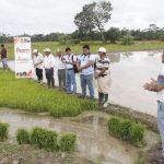 Impulsan cultivo de arroz libre de agroquímicos en San Martín