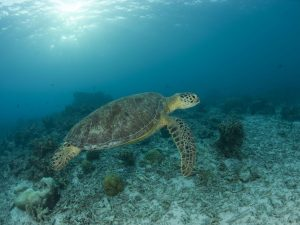 Impulsan mayor conocimiento sobre la tortuga marina peruana