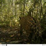 Registran con cámaras trampa a especies amenazadas en Parque Nacional Cordillera del Cóndor