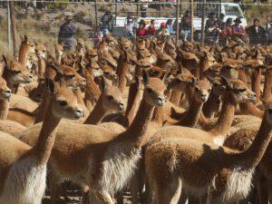 Ayacucho: Población de vicuñas crece en 1 000%