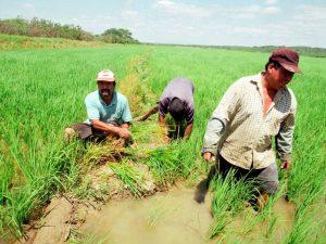 San Martín muestra un incremento de 26% de la superficie sembrada de arroz