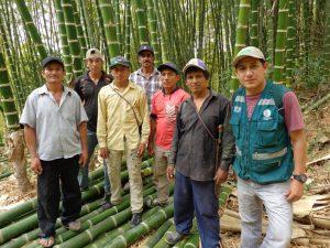 Crece la producción de bambú en Piura