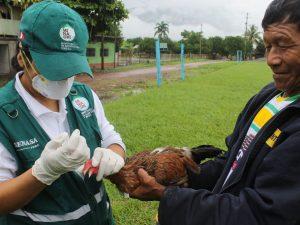 Vacunan aves en la selva central para prevenir enfermedad de Newcastle