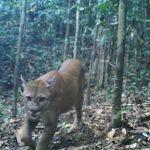 Registran con cámara trampa a felinos en el Parque Nacional Sierra del Divisor