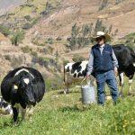 Arequipa: Mejora productividad lechera en Lluta