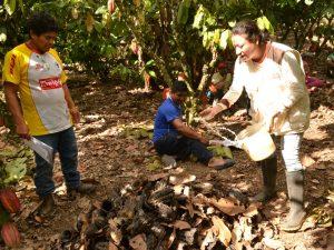 Alianza Cacao Perú inicia campaña de manejo integrado de plagas en tres regiones