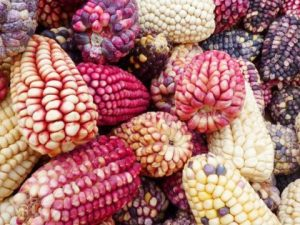 Bolivia: Urge proteguer las semillas nativas