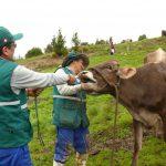 Comunidades de Ayacucho protegen su producción pecuaria con vacunación preventiva