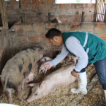 Vacunación preventiva contra peste porcina en Ucayali