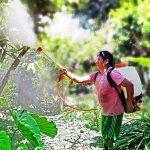 San Martín: Reemplazan productos químicos por biofertilizantes en cultivos de cacao