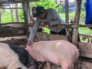 Amazonas: Vacunarán a más de 23 mil cerdos contra la peste porcina clásica